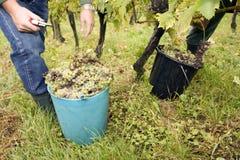 Het werken in wijngaard Royalty-vrije Stock Afbeeldingen