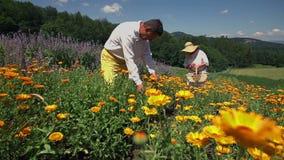 Het werkende dorp bevolkt het plukken bloemen stock footage