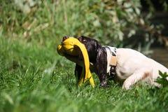 Het werkende spaniel die van de type Engelse aanzetsteen een geel stuk speelgoed terugwinnen van water Stock Fotografie