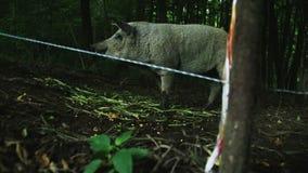 Het werpen van voedsel voor een varken stock footage