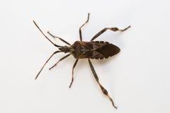 Het westelijke insect van het naaldboomzaad stock foto