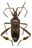 Het westelijke Insect van het Naaldboomzaad op witte Achtergrond Royalty-vrije Stock Fotografie