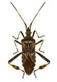 Het westelijke Insect van het Naaldboomzaad op witte Achtergrond Royalty-vrije Stock Afbeelding