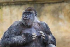 Het westelijke laagland vrouwelijke gorilla bevindende vooruit onder ogen zien royalty-vrije stock afbeelding