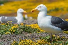 Het westelijke meeuwen en wildflowerseiland van Anacapa, het Nationale Park van Kanaaleilanden Stock Fotografie