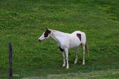 Het westelijke NC-paard van het berglandbouwbedrijf Stock Foto