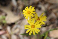 Het westen Australische Inheemse Wildflower Stock Fotografie