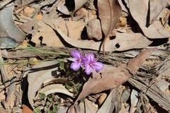 Het westen Australische Inheemse Wildflower Royalty-vrije Stock Fotografie