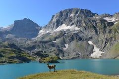 Het Westen Kaukasische tur Stock Afbeeldingen