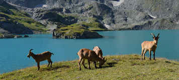 Het Westen Kaukasische tur Stock Foto's