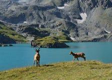 Het Westen Kaukasische tur Royalty-vrije Stock Fotografie