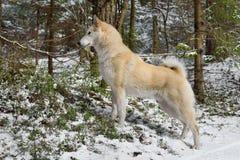 Het westen Siberische Laika Royalty-vrije Stock Afbeeldingen