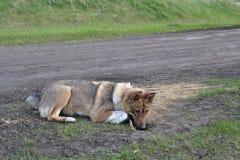 Het westen Siberische Laika De prooi is dichtbij Stock Afbeeldingen