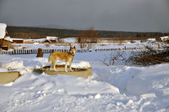 Het westen Siberische Laika in de winter Rusland Royalty-vrije Stock Foto