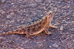 Het westen Texas Horned Toad stock fotografie