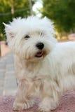 Het westenhoogland Wit Terrier Stock Foto's