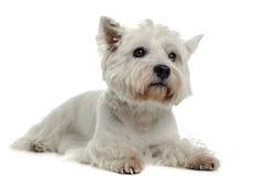 Het westenhoogland Wit Terrier die in de studiovloer liggen Stock Foto
