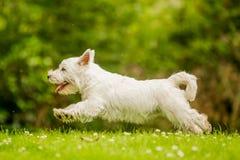 Het westenhoogland Wit Terrier die over gras met madeliefjes springen stock foto's