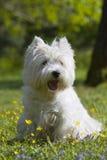 Het westenhoogland Wit Terrier openlucht Stock Foto's