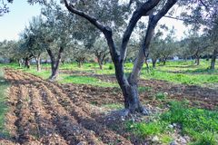 Het wieden en bebouwing in een olijfgaard met een kruippakjetractor stock fotografie
