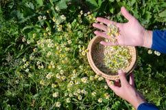 Het wijfje plukt de bloembloei met de hand van het kamillekruid Stock Foto