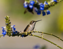 Het wijfje robijnrood-Throated kolibrie Stock Foto's