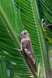 Het wijfje van Calliptamusitalicus Stock Afbeeldingen