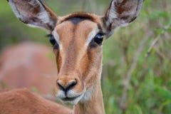 Het wijfje van de impala Stock Fotografie