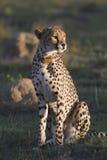 Het wijfje van de jachtluipaard Royalty-vrije Stock Afbeelding
