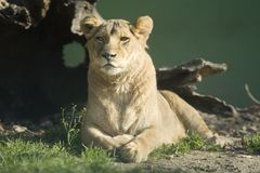 Het Wijfje van de leeuw Royalty-vrije Stock Foto's
