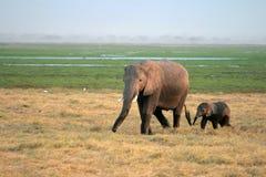 Het wijfje van de olifant met jongelui - Nationaal park Ambosel Stock Foto