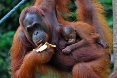 Het Wijfje van de orangoetan met Baby Stock Foto