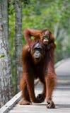 Het wijfje van de orangoetan met een baby gaat op een houten brug in de wildernis indonesië Stock Afbeeldingen