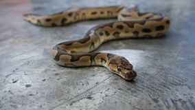 Het Wijfje van de de python morp Brand van de slangbal stock afbeeldingen