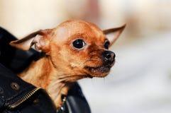 Het wijfje van hondchihuahua snauwt zenuwachtig en ziet eruit royalty-vrije stock afbeeldingen