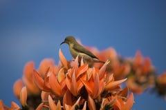 Het wijfje van Palestina sunbird Stock Foto