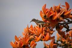 Het wijfje van Palestina sunbird Stock Afbeeldingen