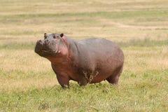 Het wild in Afrika, Hippo Stock Foto's