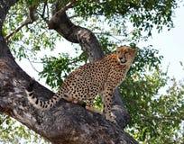 Het wild in Afrika: Jachtluipaard Stock Afbeelding