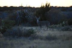 Het wild bij zonsondergang Stock Afbeeldingen