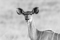 Het wild Buck Animal Black White Vintage Stock Foto's