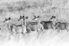 Het wild Buck Animals Black White Vintage Royalty-vrije Stock Foto's