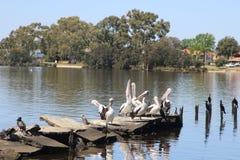 Het wild in de stad Waterbirdszitting tegengesteld aan woonhuizen in Perth, Australië royalty-vrije stock foto