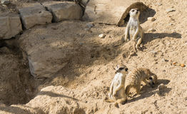 Het wild die van het Meercat meerkat zoogdier dieren kijken Royalty-vrije Stock Fotografie