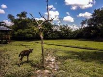 Het wild dierlijke herten Stock Foto's
