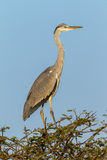 Het wild Grey Heron Bird Blue Sky Stock Fotografie