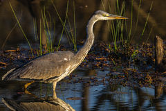 Het wild Grey Heron Bird Wetland Stock Foto