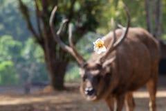 Het wild in leuke motie, een Fried Egg Tree-bloem die in het spinneweb voor een Sambar-hert hangen terwijl het voeden op de gebie stock foto