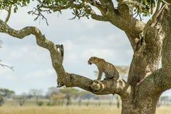 Het wild - Luipaard Stock Foto