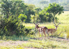 Het wild in Maasai Mara, Kenia Stock Afbeelding